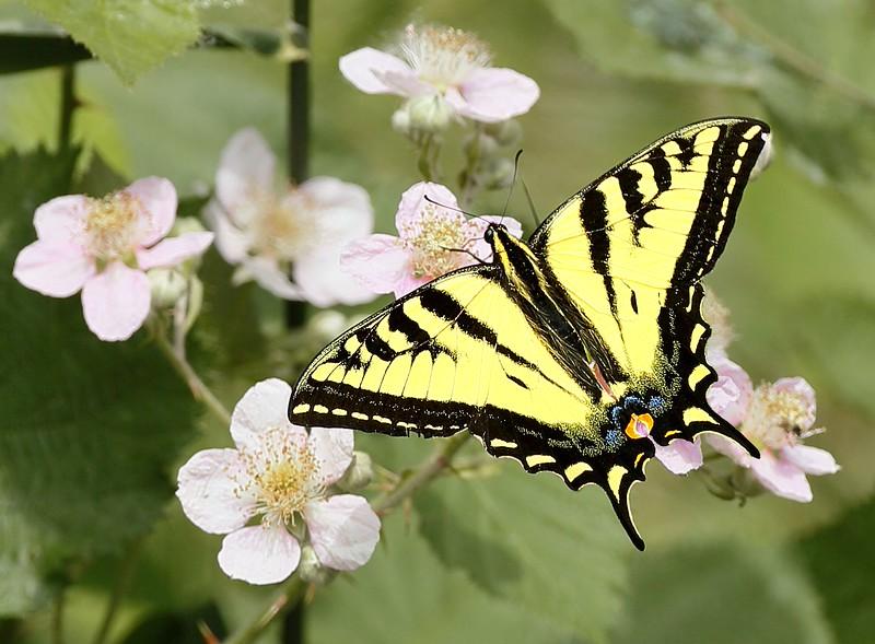 Swallowtail: Ridgefield NWR (July, 2015)