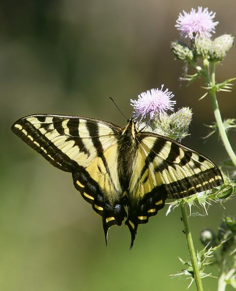 Swallowtail: Ridgefield NWR (July, 2014)