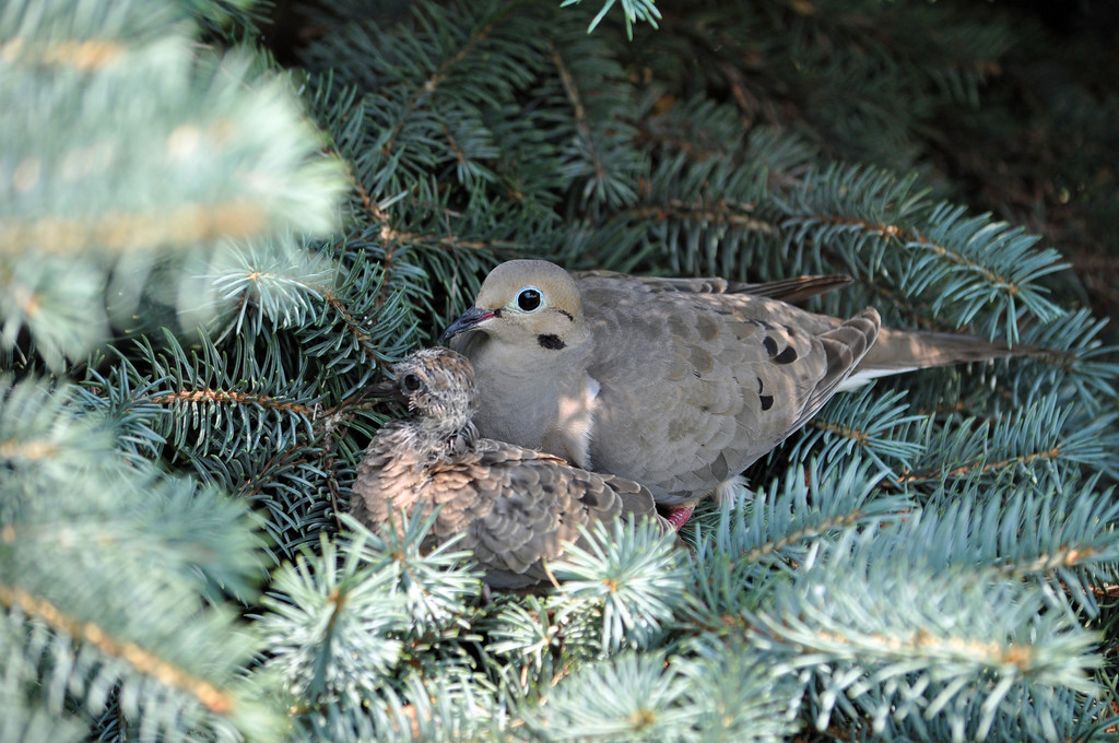Mother and Baby Dove