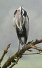 Great Blue Heron (incognito)