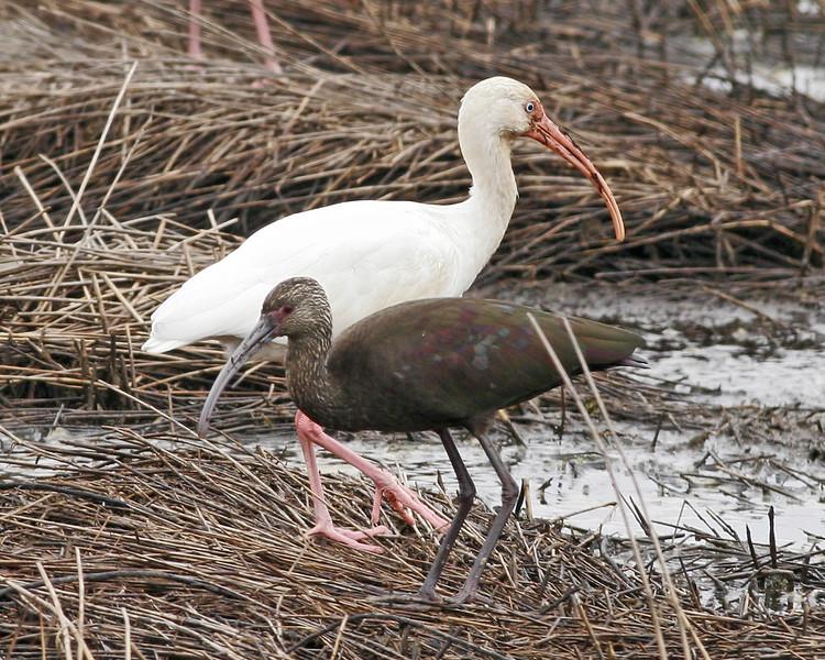 White & White-faced Ibis