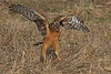 Northern Harrier & Snake