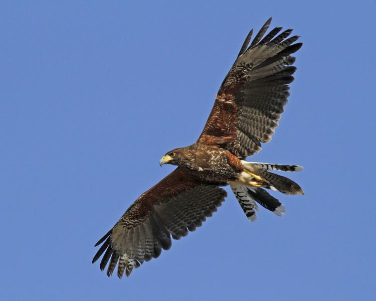 """Harris"""" Hawk"""