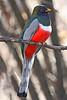 Elegant Trogan: This U.S. rare bird was photographed at Patagonia Lake State Park, AZ (February, 2009)