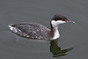 Horned Grebe (Non-breeding)