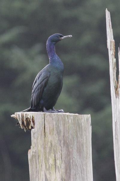 Brandt' Cormorant