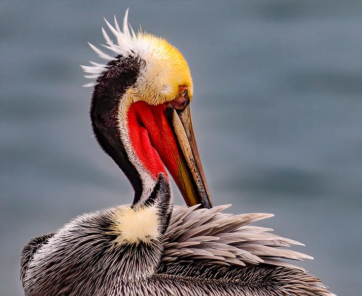 Pacific Brown Pelican (breeding