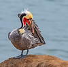 Pacific Brown Pelican
