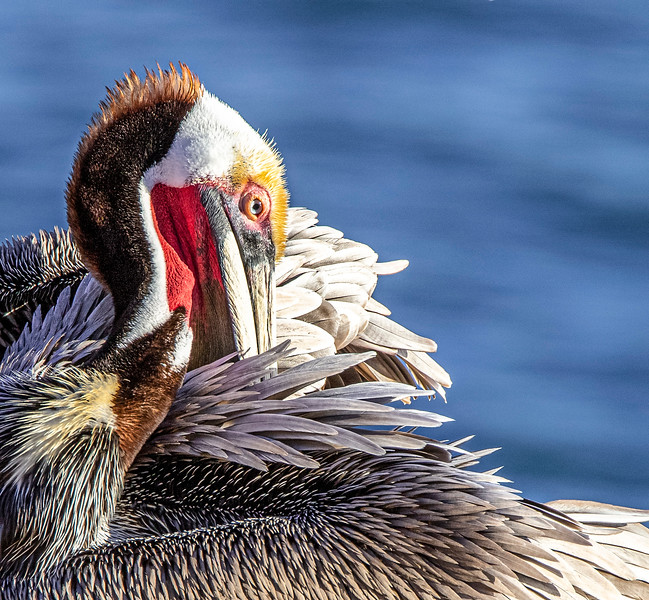 Pacific Brown Pelican (Breeding)