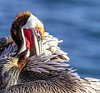 Pacific Brown Pelican (Breeding)