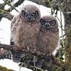 Great-horned Owls (Juvenile)