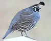 California Quail:  Near Murrieta, CA  (September, 2009)