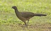 Plain Chachalaca: Estero Llano Grande State Park World Birding Center, Texas (3-17-15)