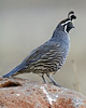 California Quail:  Near Murrieta, CA  (September, 2010)