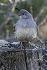 Gambel's Quail (Female):  Sedona, AZ  (March, 2010)