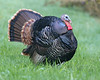 Wild Turkey: near Stevenson, WA (10-08)