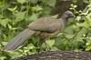 Plain Chachalaca: Estero Llano Grande State Park World Birding Center, Texas (3-17-15)