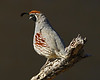 Gambel's Quail: Green Valley, AZ (February, 2013)