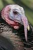 Wild Turkey: Madera Canyon, AZ (Janaury, 2010)