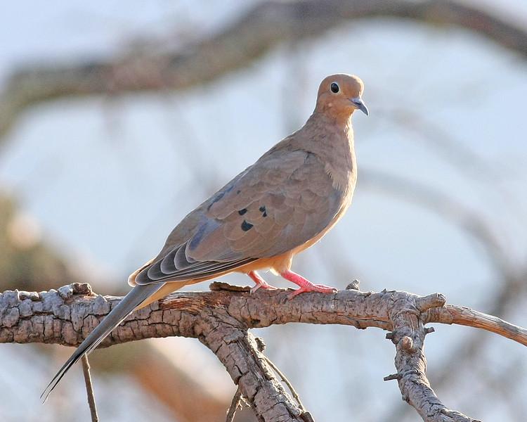 Mourning Dove: Murrieta, CA  (September, 2009)