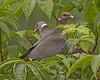 Band-tailed Pigeon: Ridgefield NWR, WA (June, 2011)
