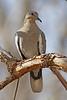 White-winged Dove: Patagonia, AZ (Januaray, 2011)