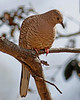 Inca Dove: Patagonia, AZ (January, 2011)