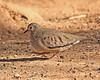 Common Ground Dove:  Salton Sea NWR, CA  (December, 2007)