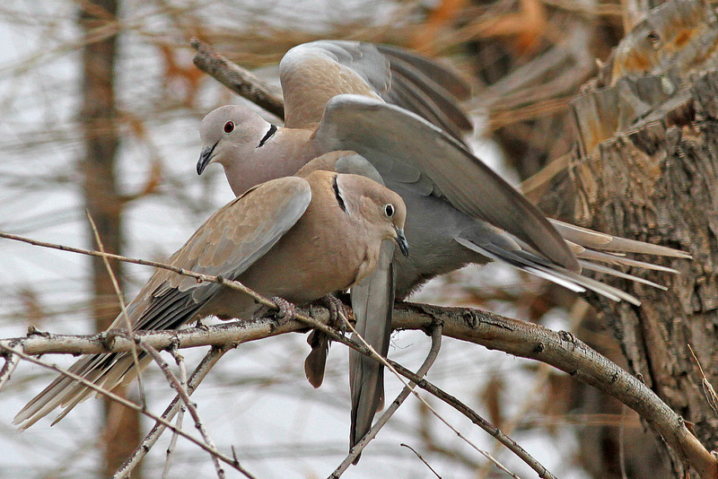Eurasian Collared Doves: Sweetwater Wetlands, Tucson, AZ (February, 2011)