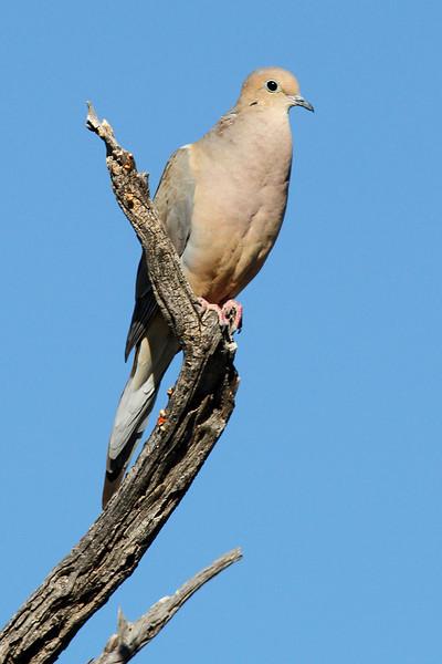 Mourning Dove:Sabino Canyon, Tucson, AZ (February 2011)