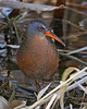 Virginia Rail:  Ridgefiled, NWR, WA  (March, 2008)