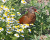 "The illusive Virginia Rail: Taken at Ridgefield NWR, WA (July 2008) ""Hey, guys, stay out of my flower patch!"""