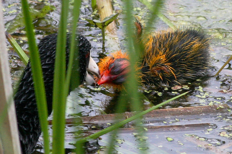Coot and Baby