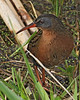 Virginia Rail: Ridgefield NWR, WA (April, 2011)