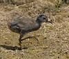 Virginia Rail young; Ridgefield NWR, WA (7-14-15)