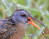 Virginia Rail: Ridgefield NWR, WA (June, 2010)