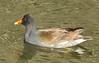 Common Moorhen:  Sweetwater Wetlands near Tucson, AZ (3-11-15)