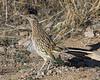 Greater Roadrunner: Green Valley, AZ (January, 2012)
