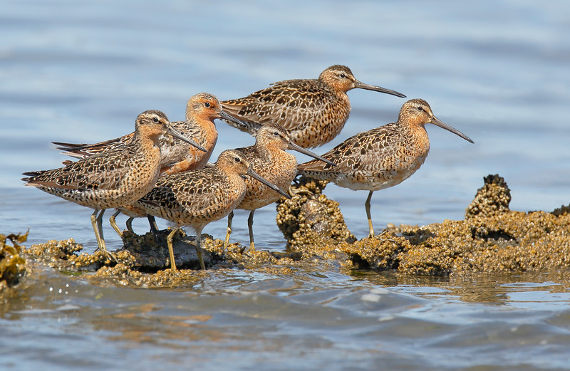 Red Knot & Short-billed Dowitchers