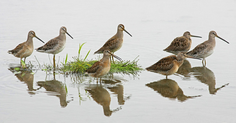 Short and Long-billed Dowitchers