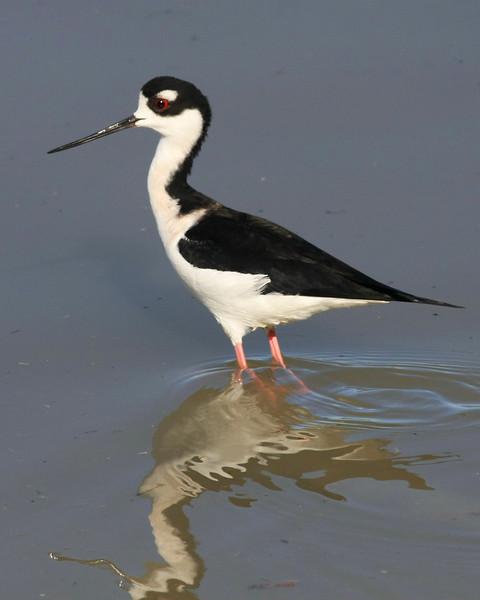 Black-necked Stilt.  Taken at Salton Sea NWR, CA
