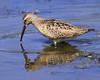 Stilt Sandpiper: A rare shorebird seen at Ridgefield National Wildlife Refuge in Washington (8-19-12)