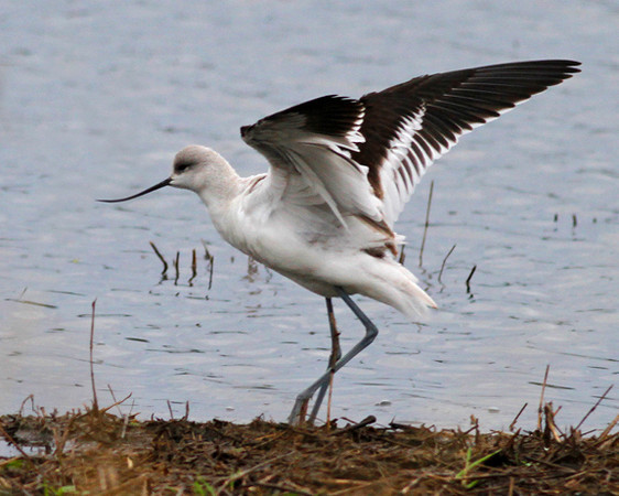 American Avocet: Ridgefield NWR, WA (October 10, 2010) This is a rare bird at Ridgefield.