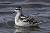Red-necked Phalarope: Ocean Shores, WA (August, 2010)
