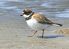 Semipalmated Plover at Bottle Beach, Washington (5-15-15)