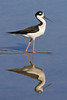 Black-necked Stilt.  Taken at Salton Sea NWR, CA