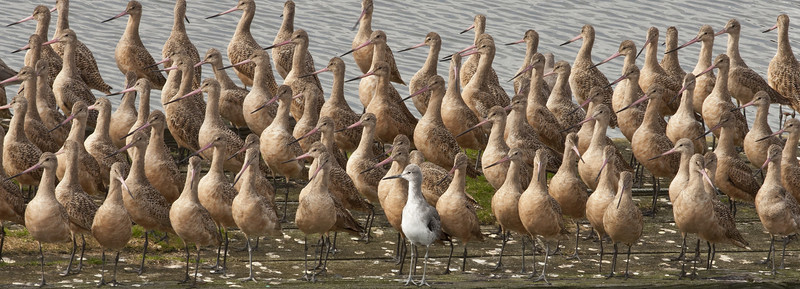 Ever feel that you are all alone in this world?  Marbled Godwits with a lone Willet: Tokeland, WA (October, 2011)