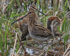 Wilson's Snipe displaying: Ridgefield NWR, WA  (March, 2010)