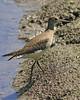 Solitary Sandpiper: Ridgefield NWR, WA (August, 2010)