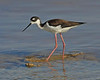 Black-necked Stilt:  Salton Sea NWR, CA